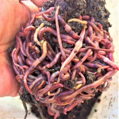Worms for composting, vermicomposting, farms, fishing or even pet feed
