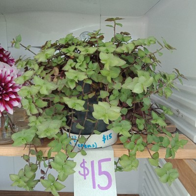 Turtle Vine plant Large